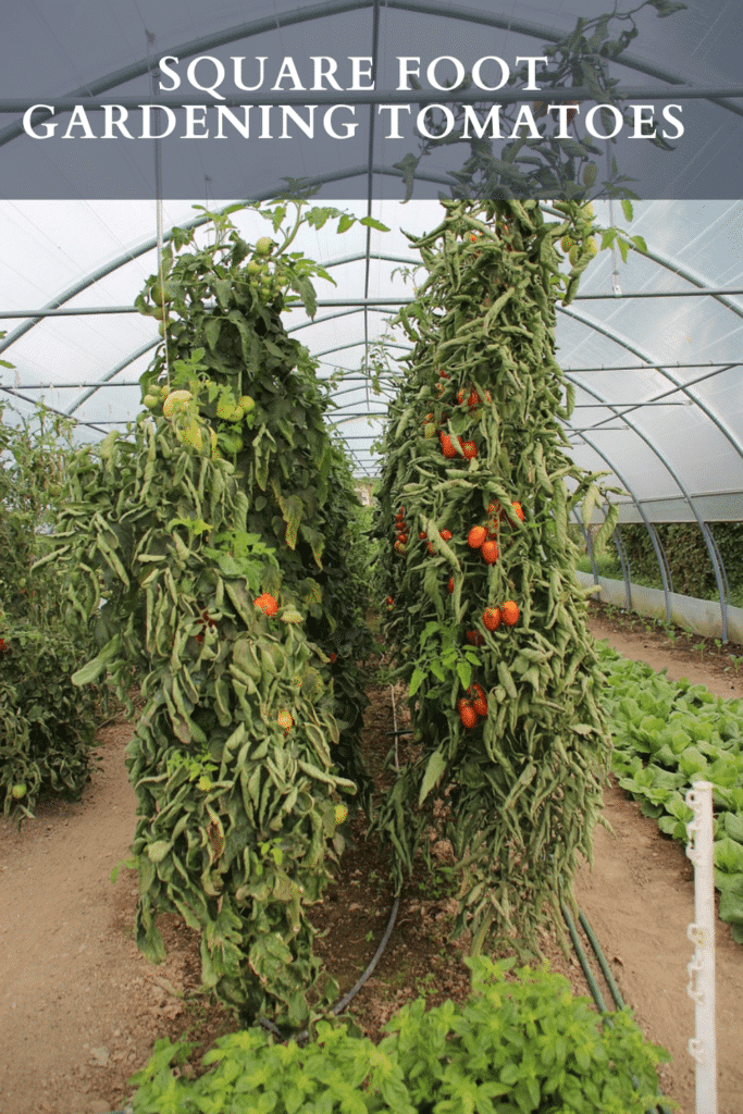 Square foot gardening tomatoes