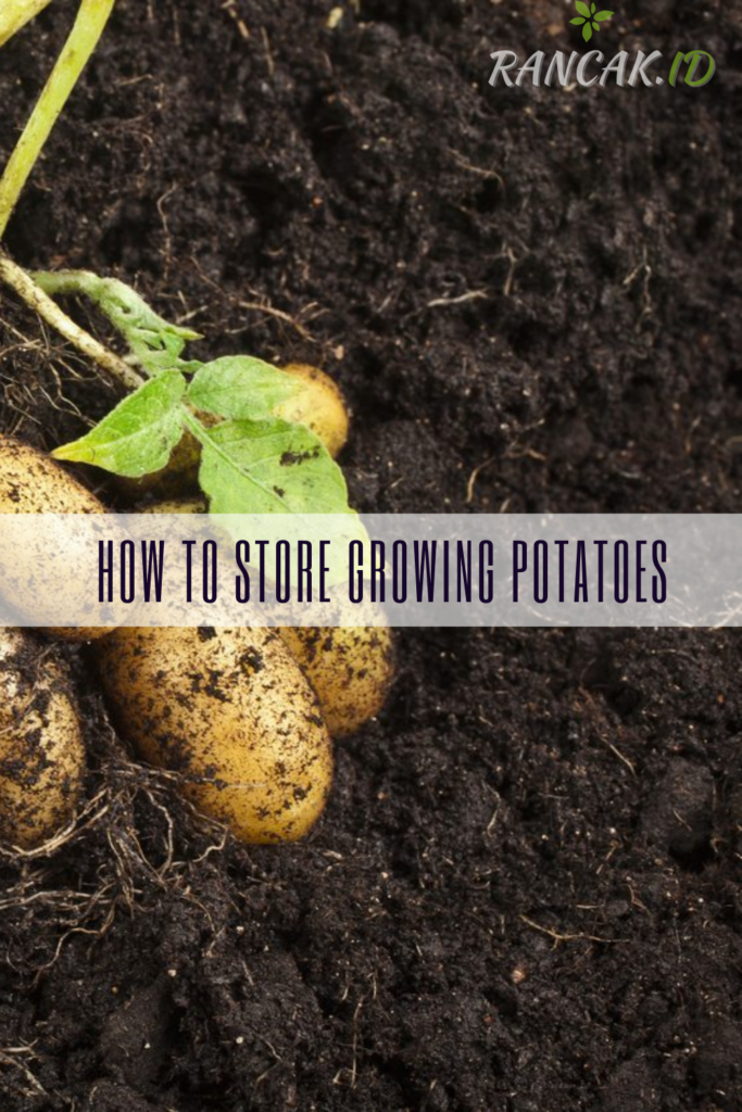 How To Store Growing Potatoes