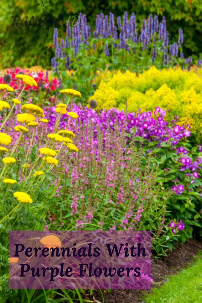 Perennials With Purple Flowers