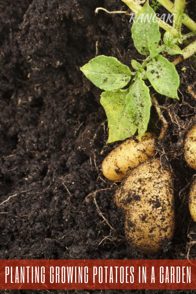 Planting Growing Potatoes In A Garden