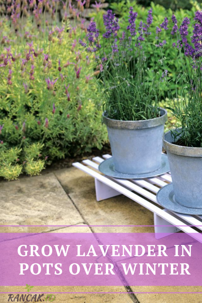 Grow Lavender In Pots Over Winter